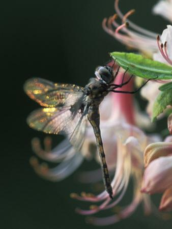 Close-up of Dragonfly Backlit on Azalea, Georgia, USA by Nancy Rotenberg