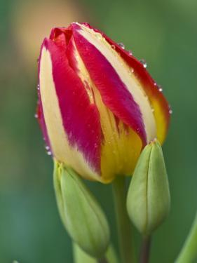 Close-Up of Single Tulip Flower with Buds, Ohio, USA by Nancy Rotenberg
