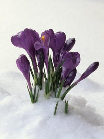 Crocus in the Snow by Nancy Rotenberg