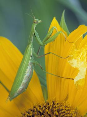 Female Praying Mantis with Egg Sac on Sunflower by Nancy Rotenberg