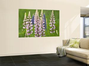 Field of Blooming Lupine Flowers and Bee, Acadia National Park, Maine, USA by Nancy Rotenberg