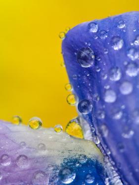 Lupine With Rain Drops, Southeast Alaska, USA by Nancy Rotenberg