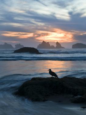 Seagull Silhouette on Coastline, Bandon Beach, Oregon, USA by Nancy Rotenberg