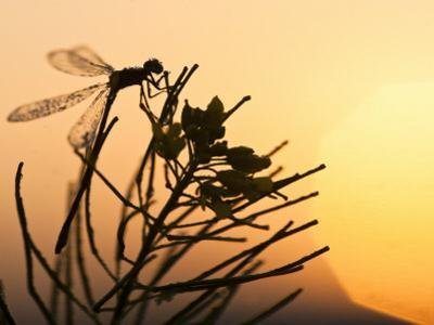 Silhouette of Damselfly, Lee Metcalf National Wildlife Refuge, Montana, USA by Nancy Rotenberg