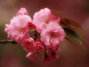 Close-up of Cherry Blossoms at Osaka Cherry Blossom Festival, Osaka, Japan by Nancy & Steve Ross