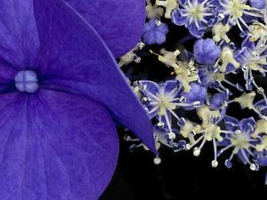 Close-up of Hydrangea, Seattle, Washington, USA by Nancy & Steve Ross