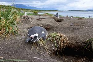 A magellanic penguin on Martillo Island, Tierra del Fuego, Argentina, South America by Nando Machado