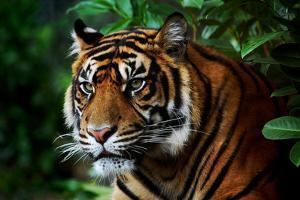 Tiger by Nanieke