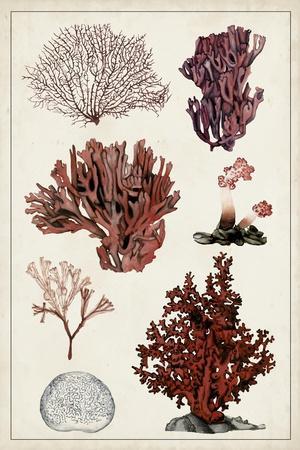 Antique Coral Study II