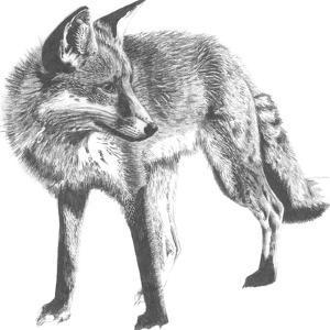 Wildlife Snapshot: Fox by Naomi McCavitt