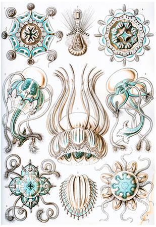 Narcomedusae Nature Art Print Poster by Ernst Haeckel