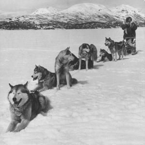 Dog Sledding Team by Nat Farbman