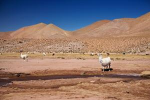 Lamas in Atacama Desert, Chile by Nataliya Hora