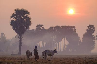 Farmer Bringing His Cows in the Fields, Kompong Thom (Kampong Thom), Kompong Thom Province by Nathalie Cuvelier