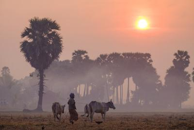Farmer Bringing His Cows in the Fields, Kompong Thom (Kampong Thom), Kompong Thom Province