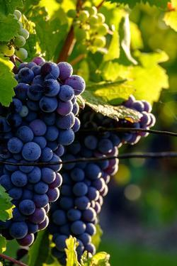 Red Cabernet, Vineyard, Chinon, Indre Et Loire, Centre, France, Europe by Nathalie Cuvelier