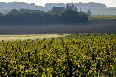 Vineyard, Chinon, Indre et Loire, France, Europe by Nathalie Cuvelier