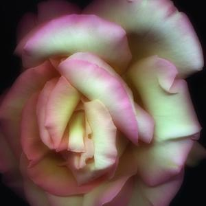 Love is a Rose by Nathan Griffith