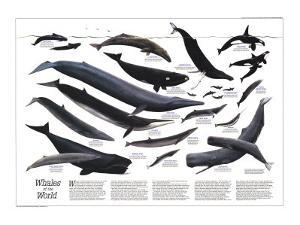 1976 Whales of the World by National Geographic Maps