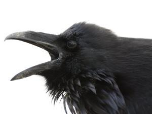 Cawing Crow in Yellowstone National Park by National Geographic Photographer