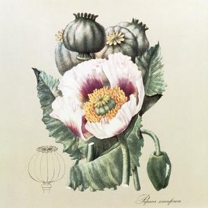 Lithograph of the Opium Poppy by National Library of Medicine