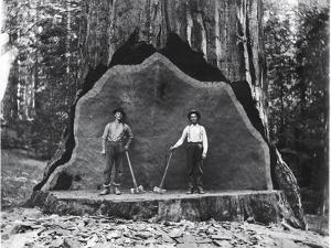A Giant Sequoia Felled by Loggers in the Early 1900's by National Park Service