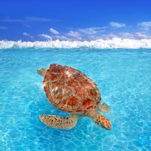 Green Sea Turtle Chelonia Mydas Caribbean Sea Cheloniidae Water Surface by Natureworld