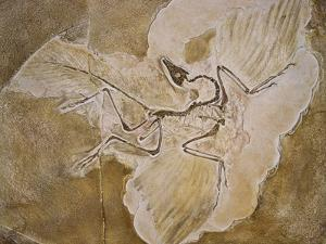 Archaeopteryx Lithographica Fossil by Naturfoto Honal