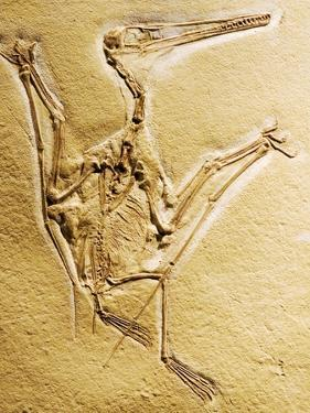 Cast of a Short-Tailed Pterosaur by Naturfoto Honal
