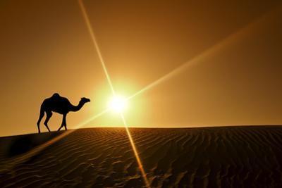 Silhouette of a Camel Walking Alone in the Dubai Desert by naufalmq