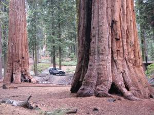 Sequoia Trees 1 by NaxArt