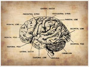 Vintage Brain Map Anatomy by NaxArt