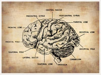 Vintage Brain Map Anatomy by NaxArt