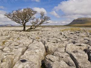 Tree Growing Through Limestone, Ingleton, Yorkshire Dales National Park, England, United Kingdom by Neale Clark