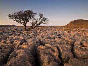 Tree Growing Through the Limestone at Sunset, Ingleton, Yorkshire Dales National Park, England by Neale Clark