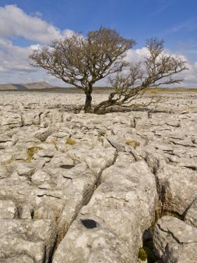 Tree Growing Through the Limestone, Yorkshire Dales National Park, Yorkshire, England by Neale Clark