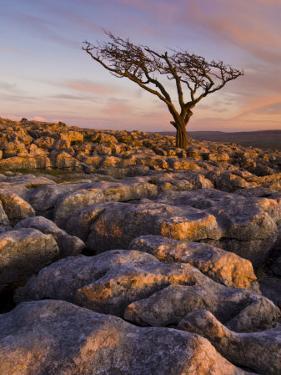 Twisted Tree, Twistleton Scar End, Ingleton, Yorkshire Dales National Park, England, United Kingdom by Neale Clark