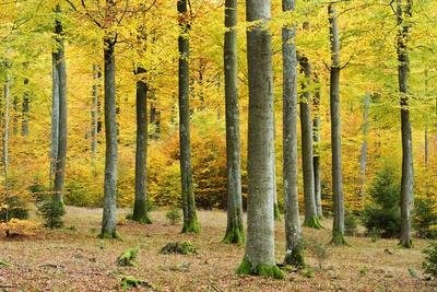 https://imgc.allpostersimages.com/img/posters/nearly-natural-beeches-timber-forest-in-autumn-spessart-nature-park-bavaria_u-L-Q11YEX30.jpg?p=0