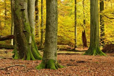 https://imgc.allpostersimages.com/img/posters/nearly-natural-mixed-deciduous-forest-with-old-oaks-and-beeches-in-autumn-spessart-nature-park_u-L-Q11YJZV0.jpg?artPerspective=n