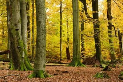 https://imgc.allpostersimages.com/img/posters/nearly-natural-mixed-deciduous-forest-with-old-oaks-and-beeches-in-autumn-spessart-nature-park_u-L-Q11YK1D0.jpg?p=0