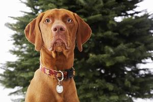 Dog Sitting in Front of Christmas Tree by Ned Frisk