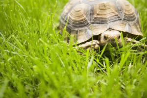 Tortoise in Meadow by Ned Frisk