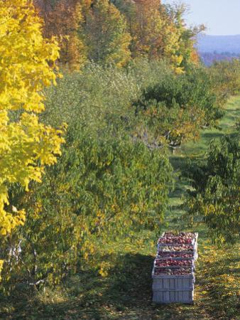 Apple Orchard at Harvest Time Concord, New Hampshire, USA
