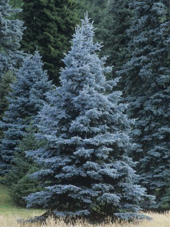 Colorado Blue Spruce (Picea Pungens), Colorado State Tree, USA