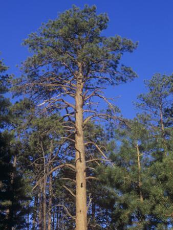 Ponderosa Pines (Pinus Ponderosa), Western North America