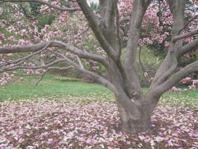 Saucer Magnolia Tree in Bloom and with Many Petals on the Lawn (Magnolia Soulangiana), USA