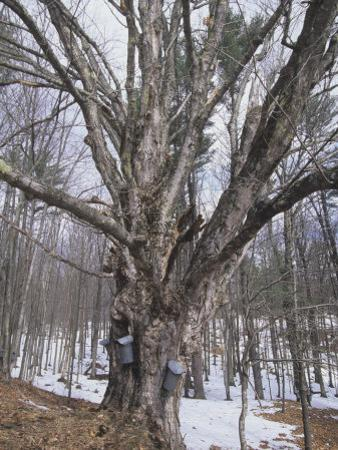Sugar Maple Tree (Acer Saccharum) with Sap Collection Buckets, New England, North America