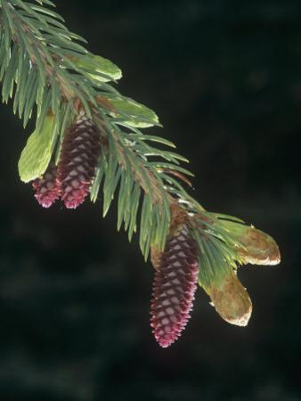 White Spruce Young Female or Seed Cones and Needles in the Spring (Picea Glauca)