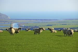 Sheep with Cuckmere Haven in the Background, East Sussex, England, United Kingdom, Europe by Neil Farrin