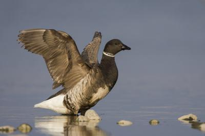 A Brant (Branta Bernicla) Stretches its Wings on the California Coast by Neil Losin